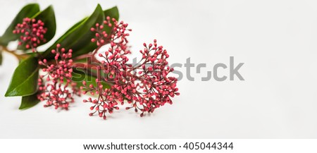 Skimmia japonica buds on the white background - stock photo