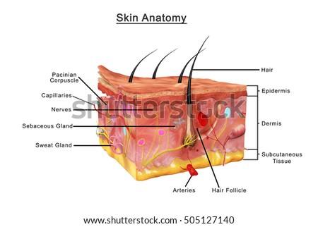 Skin Anatomy 3 D Illustration Stockillustration 505127140 – Shutterstock