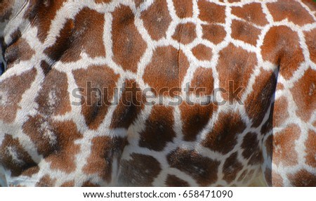 Skin of a giraffe (Giraffa camelopardalis) is an African even-toed ungulate mammal, the tallest of all extant land-living animal species, and the largest ruminant.