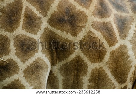 skin of giraffe  - stock photo