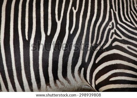 Skin of the Grevy's zebra (Equus grevyi), also known as the imperial zebra. Wild life animal.  - stock photo