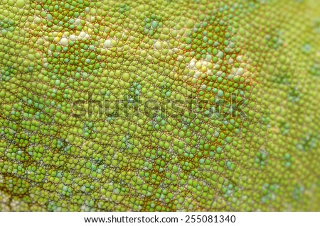 Skin of Veiled chameleon Chamaeleo calyptratus. - stock photo
