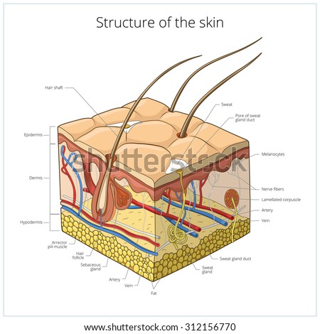 Sweat Glands Stock Photos, Images, & Pictures | Shutterstock