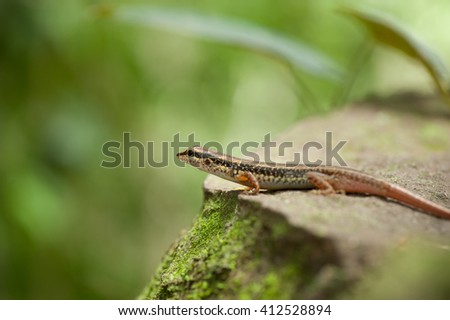 skink or scincoid lizard,Thailand