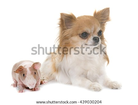 skinny guinea pig and chihuahua in front of white background