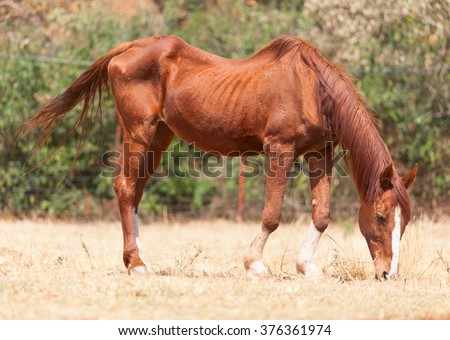 Skinny horse in the pasture in the summer - stock photo