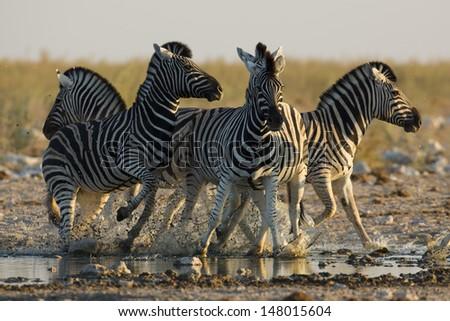 Skittish zebras at waterhole - stock photo