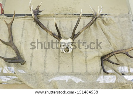 Skull and horns of deer in urban walls, biology and former - stock photo