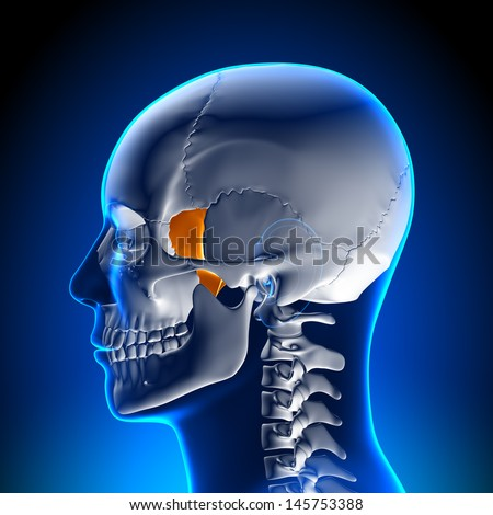 Skull / Cranium - Lacrimal bone - stock photo