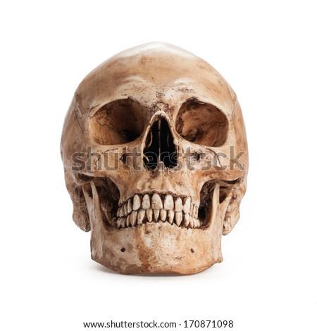 Skull model on isolated white background - stock photo