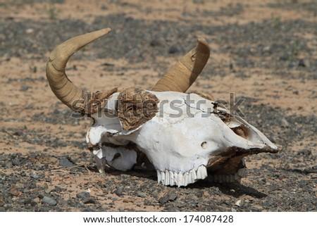cow skull and desert - photo #32