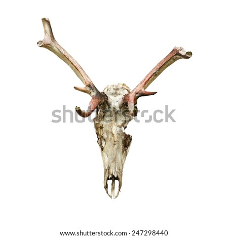 skull of red deer stag ( Cervus elaphus ) eaten by wolves, isolation on white background; the hungry animals have eaten even parts of their antlers