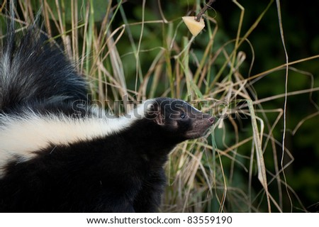 Skunk - stock photo