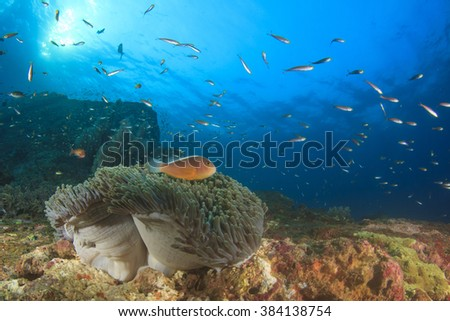 Skunk Anemonefish on ocean coral reef underwater