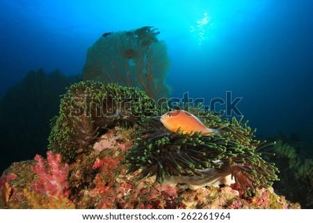 Skunk Anemonefish on underwater coral reef - stock photo