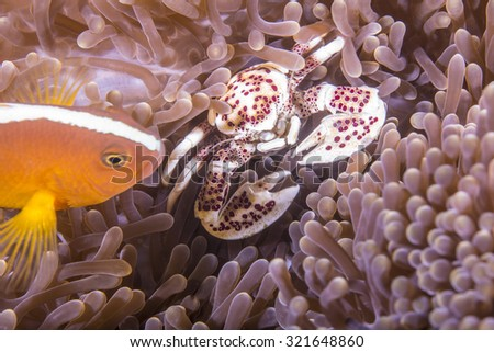 Skunk Clown Anemonefish and Porcelain crab hiding in an Anemone on tropical coral reef.