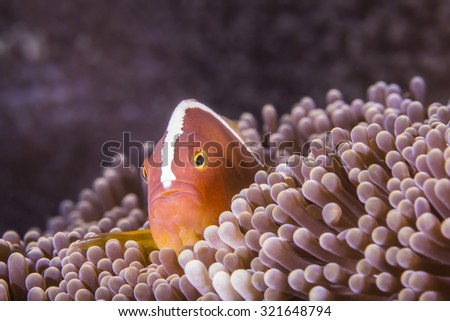 Skunk Clown Anemonefish hiding in an Anemone on tropical coral reef. - stock photo