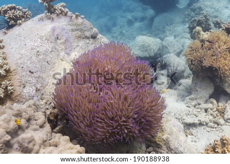 Skunk clownfish (Amphipirion perideraion) at Ko Chang island, Thailand - stock photo