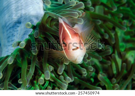 Skunk Clownfish in a green anemone - stock photo