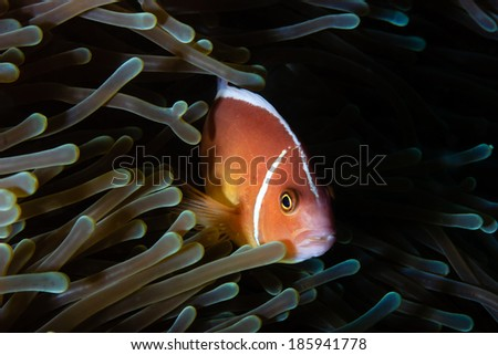 Skunk clownfish in an anemone on a tropical coral reef - stock photo