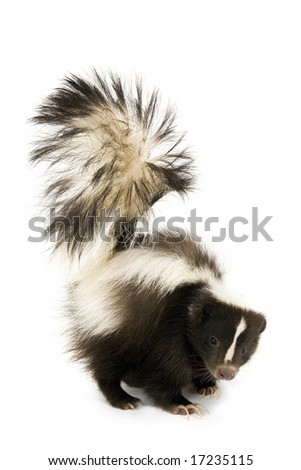 Skunk isolated on a white background - stock photo