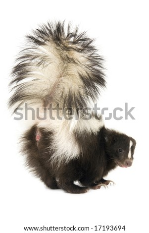 Skunk with tail raised upward isolated on a white background