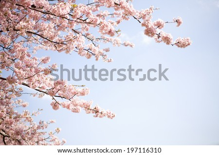 Sky And Cherry Blossoms - stock photo