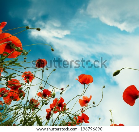 Sky background with red poppies flowers