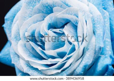 Sky blue rose, close-up, macro. - stock photo