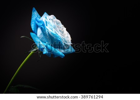 Sky blue rose, close-up, macro. - stock photo