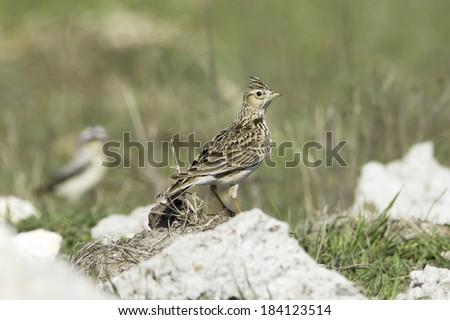 Sky lark in natural habitat / Alauda arvensis  - stock photo