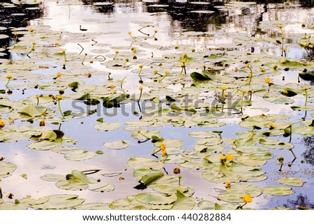 Sky reflection on the river covered with yellow Nuphar Lutea flowers - stock photo