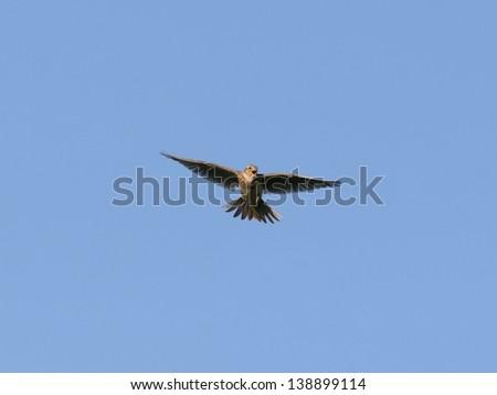Skylark, singing in the air - stock photo