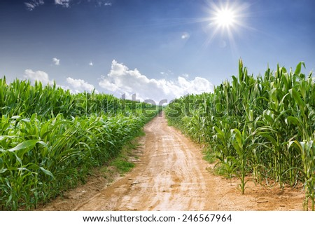 skyline and corn field  - stock photo