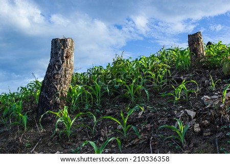 Slash and burn cultivation in north Thailand - stock photo