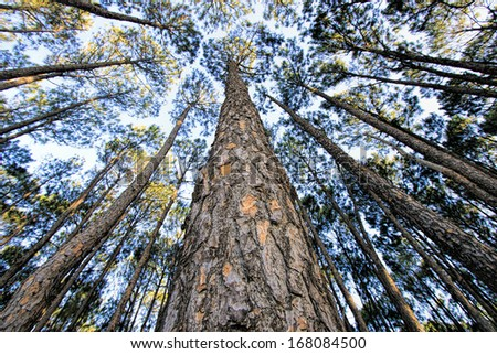 Slash pine trees in forest - stock photo