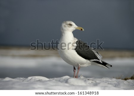 Slaty-backed gull, Larus schistisagus, single bird on snow, Japan