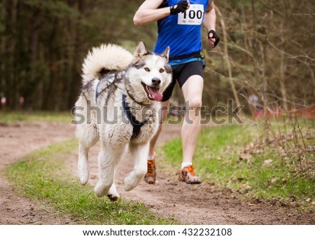 Sled Dog Sport Races canicross with Siberian Husky and Musher