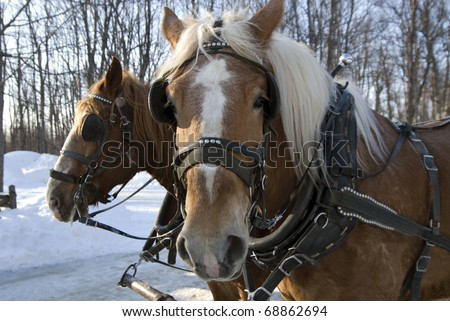 Sled Horses - stock photo