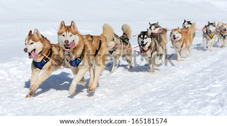 Sled husky dog race in winter on snow