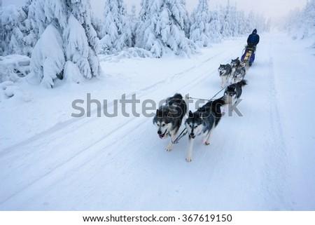 sledge dogging, Sedivacek's long, Czech Republic - stock photo
