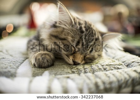 sleepind Maine Coon kitten - stock photo