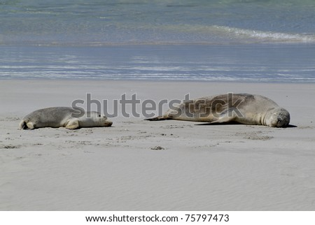 sleeping Australian Sea Lions on Kangaroo Island in South Australia
