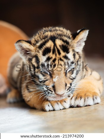 Sleeping baby tiger - stock photo