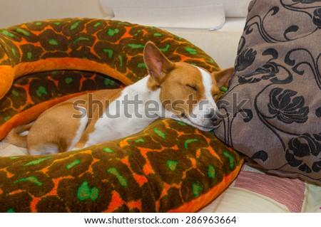 Sleeping basenji having rest on a sofa - stock photo