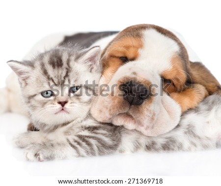 Sleeping Basset hound puppy hugging tabby kitten. isolated on white background - stock photo