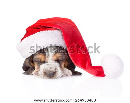 Sleeping basset hound puppy in red santa hat. isolated on white background
