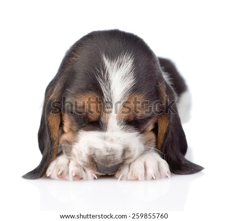 sleeping Basset hound puppy lying in front. isolated on white background - stock photo