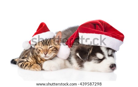 Sleeping bengal kitten and Siberian Husky puppy in santa hat. isolated on white background