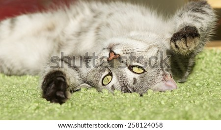 Sleeping cat in natural home background, lazy cat face close up, small sleepy lazy cat, domestic animal, cat on siesta time,resting cat on blur carpet, cute funny cat, young playful cat, cat playing - stock photo